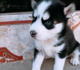 Vendo Hermosa Husky 1 Mes