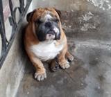 Presto a Mi Bulldog Ingles para Cruze