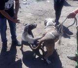 Vendo Cachorro American Bully