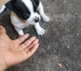 Vendo Chihuahua Macho