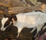Vendo 2 Vacas Lecheras