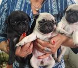 Cachorritas Pug 2 Cervatas Y 1 Negrita