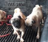 Vendo Mis Tres Pug Embritas a 2,800