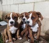 Cachorros Hibridos (bulldog Ingles/apbt)