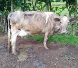 Vendo Par de Vacas Muy Proximas a Parir