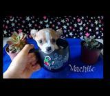 Precioso Chihuahua de Bolsillo