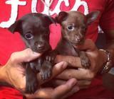 Chihuahua 47098565 Mas Informacion