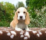 Beagles Pura Raza