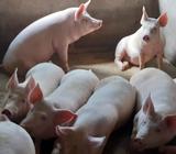 Vendo Cerdos a 7.50 Lb