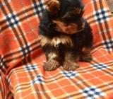 Yorkshire Terrier Machito
