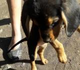 Vendo Perrita Beagle