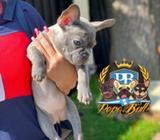 Bulldog Fenaces Hembra Blue