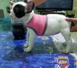 Linda Bulldog Frances Pedigri A, 2 Meses