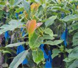 Venta de arbolitos frutales por mayor y menor a buen precio